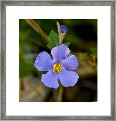 Forget Me Not Framed Print by Svetlana Sewell