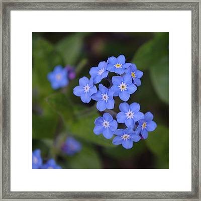 Forget Me Nots Framed Print by Adrian Wale