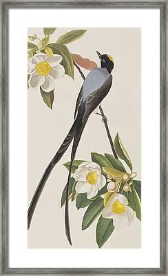 Fork-tailed Flycatcher  Framed Print by John James Audubon