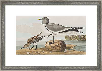 Fork-tailed Gull Framed Print by John James Audubon