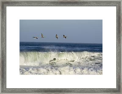 Four Brown Pelicans Pelecanus Framed Print by Rich Reid
