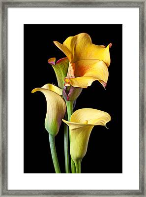 Four Calla Lilies Framed Print by Garry Gay