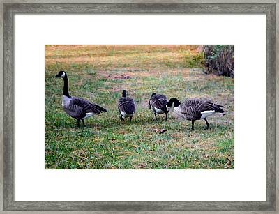 Four Canadian Geese Framed Print by Lanjee Chee