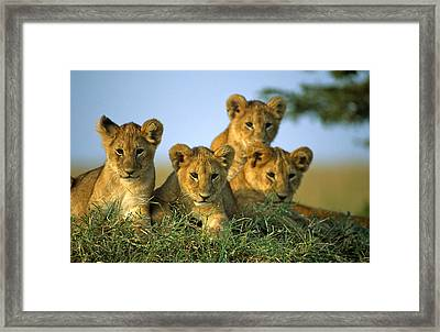 Four Lion Cubs Framed Print by Johan Elzenga