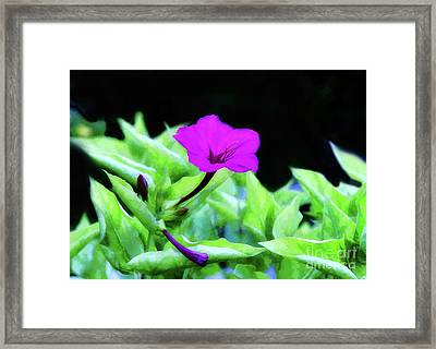 Four O'clock Flower Framed Print by Arnie Goldstein