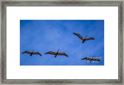 Four Pelicans Framed Print by Randy Bayne