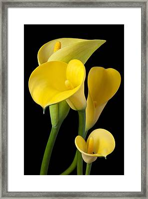 Four Yellow Calla Lilies Framed Print by Garry Gay