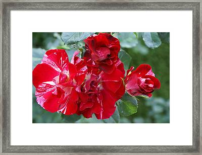 Fourth Of July Roses Framed Print by Jacqueline Russell