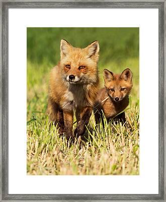 Fox Family Framed Print by Mircea Costina Photography