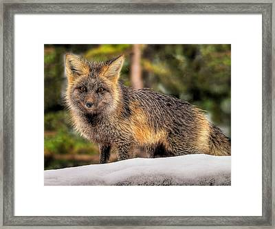 Fox Hunting In The Snow Framed Print by Paul W Sharpe Aka Wizard of Wonders