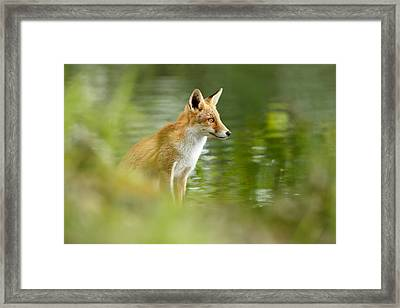 Fox Reflections Framed Print by Roeselien Raimond
