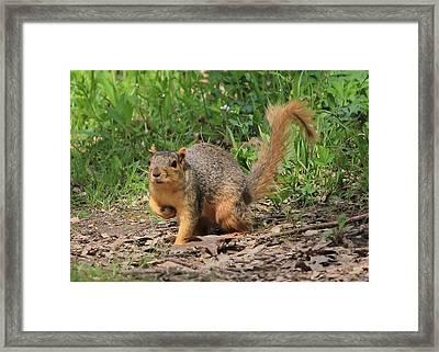 Fox Squirrel Framed Print by Kim Ormsby