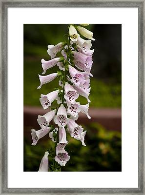 Foxglove At The Getty - Digitalis Framed Print by Teresa Mucha
