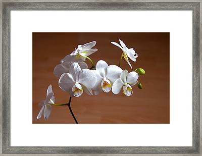 Fragile Orchid  Framed Print by Svetlana Sewell