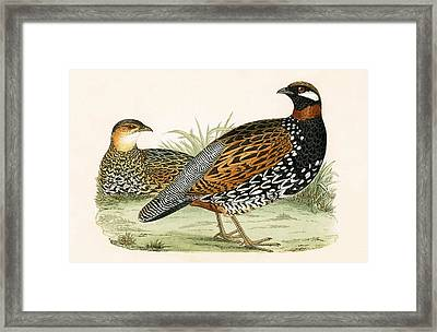 Francolin Framed Print by English School