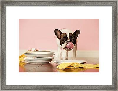 French Bulldog Licking Dirty Dishes Framed Print by Valderrama Photography