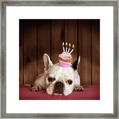 French Bulldog With Birthday Cupcake Framed Print by Retales Botijero