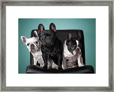 French Bulldogs Framed Print by Retales Botijero