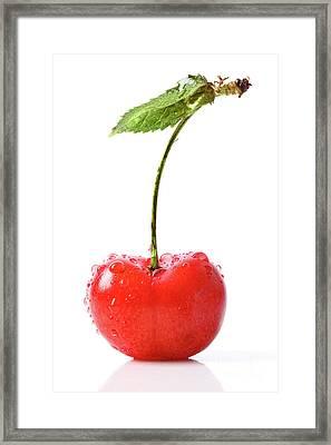 Fresh Red Cherry Isolated On White Framed Print by Sandra Cunningham