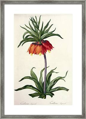 Fritillaria Imperialis Framed Print by Pierre Joseph Redoute