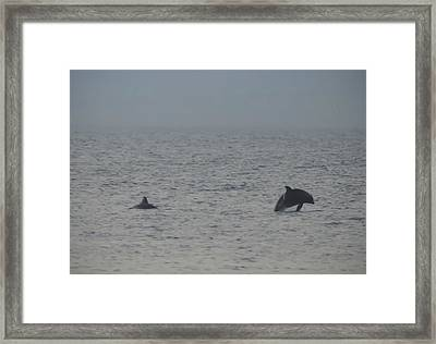 Frolicking Dolphins Framed Print by Bill Cannon