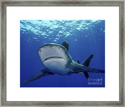 Front View Of An Oceanic Whitetip Framed Print by Brent Barnes