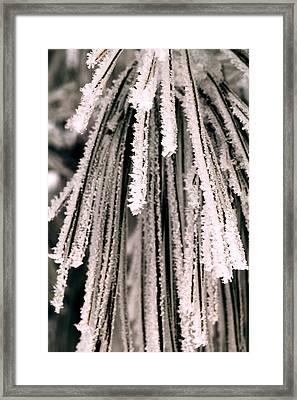 Frost Covered Pine Needles Framed Print by Amanda Kiplinger