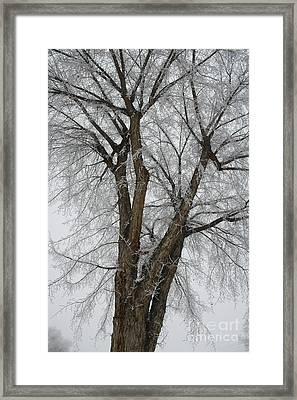 Frosty Tree Framed Print by Carol Groenen