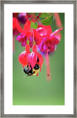 Fuchsia Flower Artwork Framed Print by Lourry Legarde