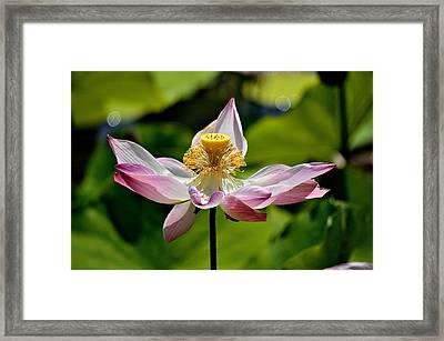 Full Bloom Lotus Framed Print by Charles J Pfohl