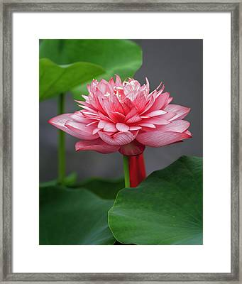 Full Bloom Lotus D2842 Framed Print by Wes and Dotty Weber