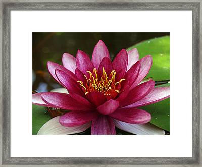 Full Lotus Framed Print by James Granberry