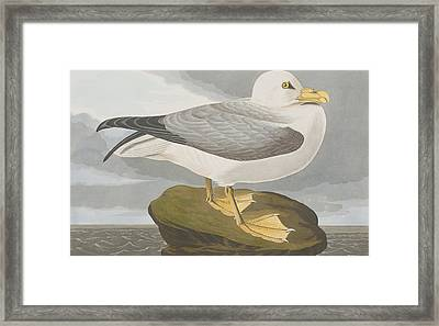 Fulmar Petrel Framed Print by John James Audubon