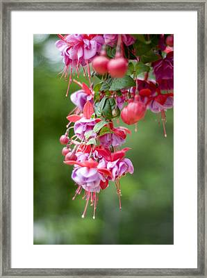 Fuschia Framed Print by Rockstar Artworks