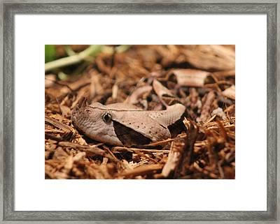 Gaboon Viper Framed Print by Dana  Oliver