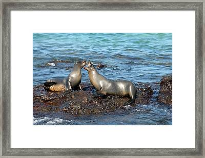 Galapagos Sea Lion Framed Print by Alan Lenk
