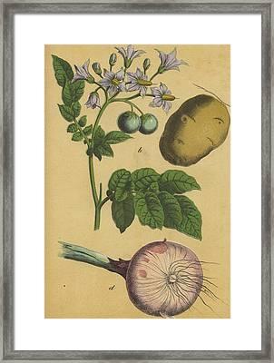 Garlic And Potato Framed Print by German Botanical Artist