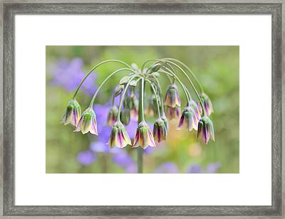 Garlic Lily Framed Print by Jessica Jenney
