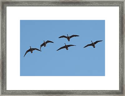 Geese Overhead Framed Print by Paul Freidlund