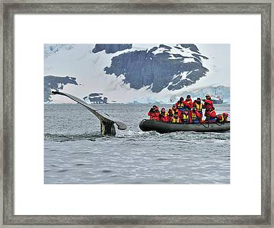 Gentle Giant Humpback Whale Framed Print by Tony Beck