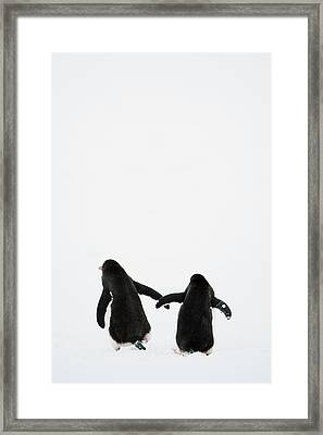 Gentoo Penguin (pygoscelis Papua) Framed Print by Elliott Neep