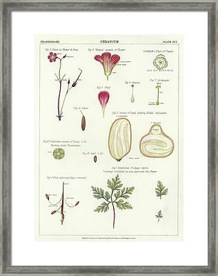 Geranium  Framed Print by English School