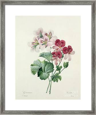 Geranium Variety Framed Print by Pierre Joseph Redoute