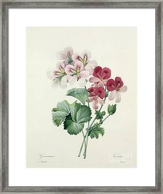 Geranium Variety Framed Print by Pierre Joseph Redoute