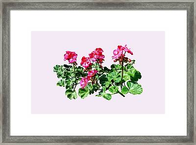 Geraniums In A Row Framed Print by Susan Savad