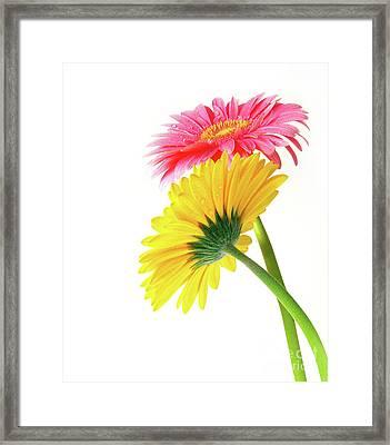 Gerber Flowers Framed Print by Carlos Caetano