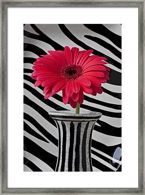 Gerbera Daisy In Striped Vase Framed Print by Garry Gay