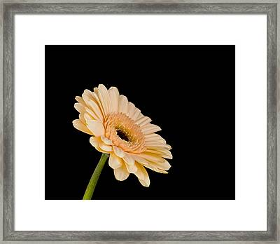 Gerbera Daisy On Black Framed Print by Clare Bambers