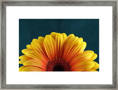 Gerbera Sunrise Framed Print by Michael Park