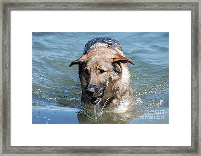 German Shepherd Dog Emerging From The Water Framed Print by DejaVu Designs